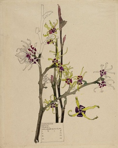 Japanese Witch Hazel, Walberswick, 1915, one of a number of botanical illustrations carrying Margaret's initials alongside those of her husband Charles. It is sometimes suggested that these are collaborative works but Roger Billcliffe ( amongst others ) asserts that Margaret's presence during the work's creation is the reason for her inclusion.