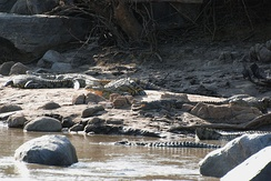 Groupings of crocodiles like this can include crocodiles of various sizes, but seldom of less than 2 m (6 ft 7 in), lest a cannibalistic large specimen launch an attack.