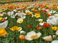 Arctic poppy (Papaver nudicaule)