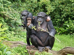 A chimpanzee group