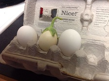 White eggplant compared to two chicken eggs