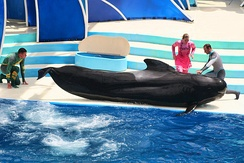 SeaWorld pilot whale with trainers
