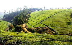 Tea plantations in Malabar, southern Bandung. Tea plantations are common sight across mountainous West Java