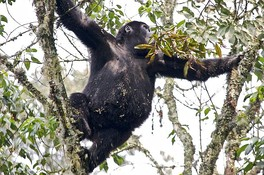 Young gorilla in tree
