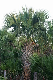 The Sabal mexicana (Texas sabal palm) is a native plant species in Brownsville.