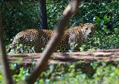 Индийский леопард (Panthera pardus fusca)