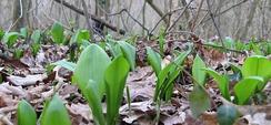 Молодые листья черемши в лесу в долине Рейна