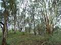 Eucalyptus forest in East Gippsland, Victoria. Mostly E. albens (white box).