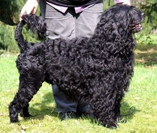 Portuguese Water Dogs are native to the Algarve; they were the fisherman's main companion and often accompanied sailors during the Portuguese discoveries.