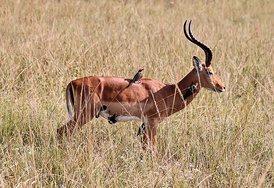 The red-billed oxpecker eats ticks on the impala's coat, in a cleaning symbiosis.