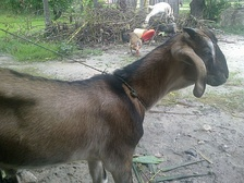 Goat found in Nepal