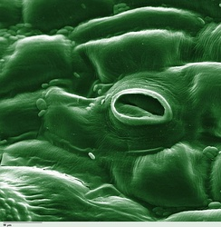 Stoma in a tomato leaf shown via colorized scanning electron microscope