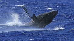 Humpback whale breaching off South Caicos