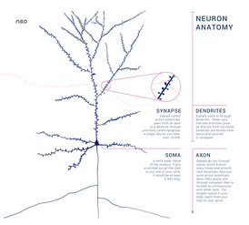 Schematic of an anatomically accurate single pyramidal neuron, the primary excitatory neuron of cerebral cortex, with a synaptic connection from an incoming axon onto a dendritic spine.