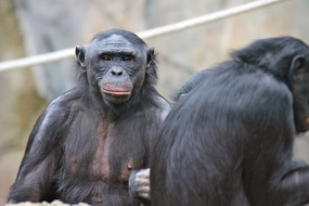 Bonobos, members of the great ape family