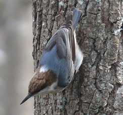 Brown-headed nuthatch (Sitta pusilla), nuthatches can climb downwards head-first