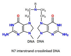 Two DNA bases that are cross-linked by a nitrogen mustard. Different nitrogen mustards will have different chemical groups (R). The nitrogen mustards most commonly alkylate the N7 nitrogen of guanine (as shown here) but other atoms can be alkylated.[34]