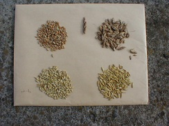 Cereal grain seeds from left to right, top to bottom: wheat, spelt, barley, oat.