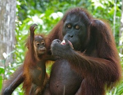 A rehabilitated female with her young baby in Sepilok Orang Utan Rehabilitation Centre, Sabah, Malaysia