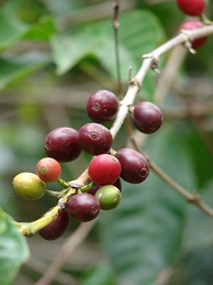 Coffee cherries (Coffea arabica) – described as drupes or berries
