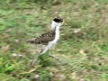Young masked lapwing running