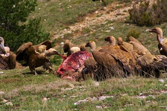 Griffon vulture scavenging a red deer carcass in Spain