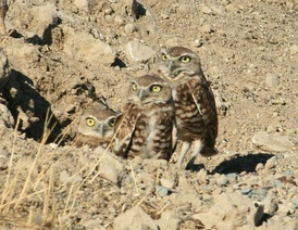 An image of a family of burrowing owls inside their holes.