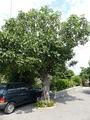 Фиговое дерево (Хорватия)