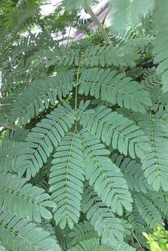 Doubly paripinnate leaves of Delonix regia