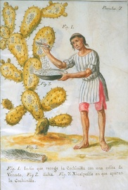 A native of Central America collecting cochineal insects from a cactus to make red dye (1777). From the 16th until the 19th century, it was a highly profitable export from Spanish Mexico to Europe.