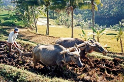 Using water buffalo to plough rice fields in Java; rice is a staple for all classes in contemporary; Indonesia is the world's third largest paddy rice producer and its cultivation has transformed much of Indonesia's landscape.