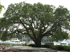 The Liberty Oak in Harbour Town