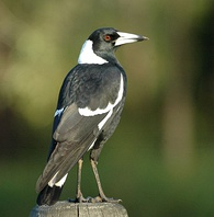 "Commonly sighted in Sydney, Australian magpies are known for their distinctive, ""gargling"" calls."