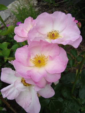 Rosa 'Escapade'— флорибунда, сорт создан в Англии, в 1967 году