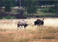 A bison charges an elk near Old Faithful in Yellowstone National Park.