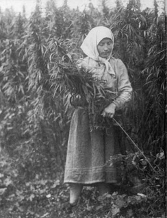 Harvesting hemp in the USSR, 1956