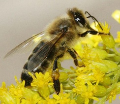 Carniolan honey bee on a goldenrod flower head