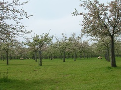 A traditional cider apple orchard at Over Stratton, with sheep grazing