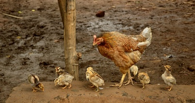 Hen with chicks, India.