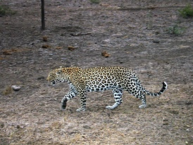 Леопард в южноафриканском заповеднике