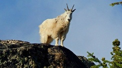 Mountain goat on Wallaby Peak in the North Cascades