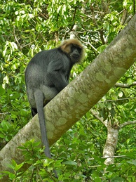 Nilgiri langur (Trachypithecus johnii), an Old World monkey