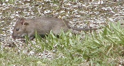Brown rat eating sunflower seeds