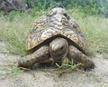 Young, 20-year-old Tanzanian leopard tortoise feeding on grass