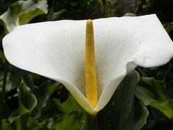 The familiar calla lily is not a single flower. It is actually an inflorescence of tiny flowers pressed together on a central stalk that is surrounded by a large petal-like bract.