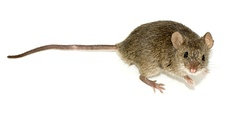A computer mouse is named for its resemblance to the rodent.