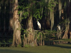 Two egrets on the limbs of a cypress in the Atchafalaya flood basin.