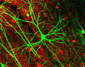 Image of pyramidal neurons in mouse cerebral cortex expressing green fluorescent protein. The red staining indicates GABAergic interneurons.[10]