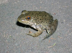Juvenile with a small, grey, oval-shaped area on top of the head, the parietal eye