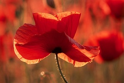 The national flower of Albania is the red poppy and is everywhere found throughout the landscapes of the country.